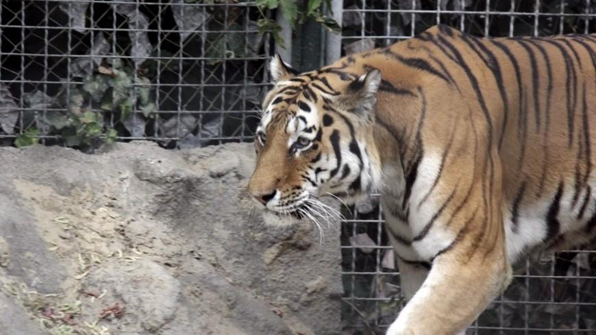 "© Фото: ""Александр Попов, «МИР 24»"":http://mir24.tv/, тигры, зоопарк, тигр"