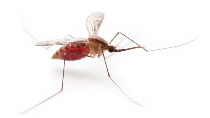 Малярийных комаров заменят на генно-модифицированных сородичей