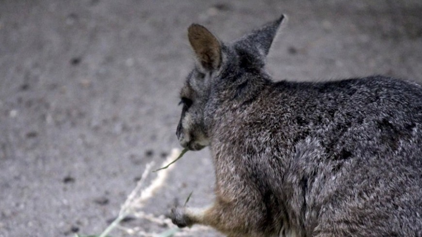 Сбежавшего из зоопарка кенгуру нашли во Франции через два месяца