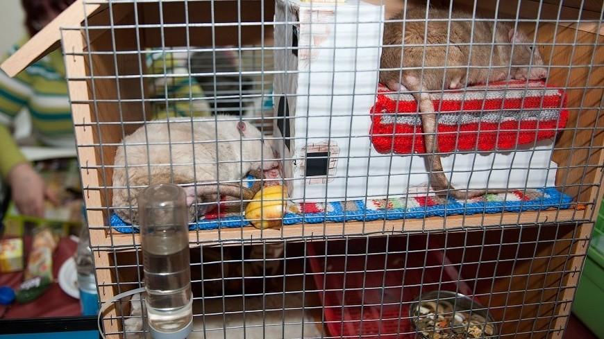 """""""© Фото: Анна Тимошенко, «МИР 24»"""":http://mir24.tv/, крыса, грызуны"""