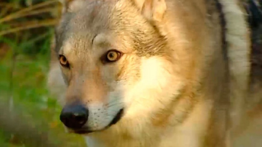 "Скриншот: ""«МИР 24»"":http://mir24.tv/, волк"