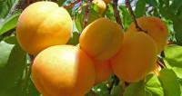 Время абрикосов: страны СНГ и Турция бьются за российский рынок