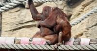Новосибирский нейрохирург спас жизнь новорожденному орангутану