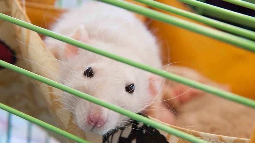 """Фото: Анна Тимошенко (МТРК «Мир») """"«Мир 24»"""":http://mir24.tv/, мышь, животные, домашние животные"""