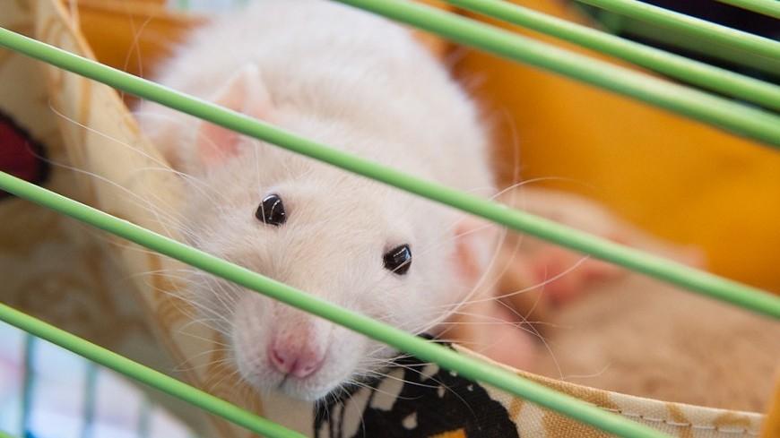 В организме мышей нашли клетки, помогающие похудеть