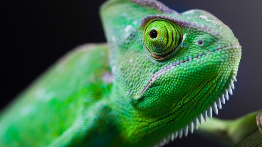 Россиянин привез из Мадагаскара в рюкзаке 250 хамелеонов и гекконов