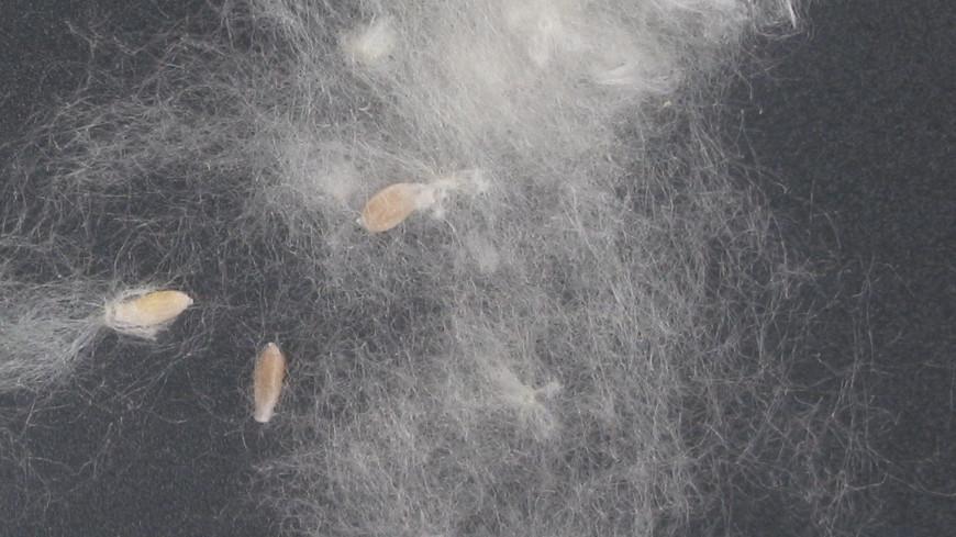 Аллергия, поломки и пожары: чем опасен тополиный пух
