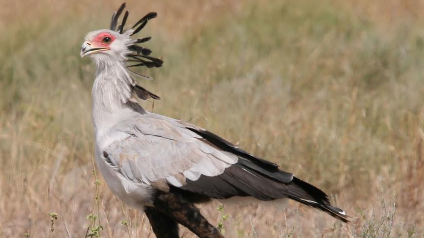 Птица-секретарь указала, где искать легендарную страну Пунт