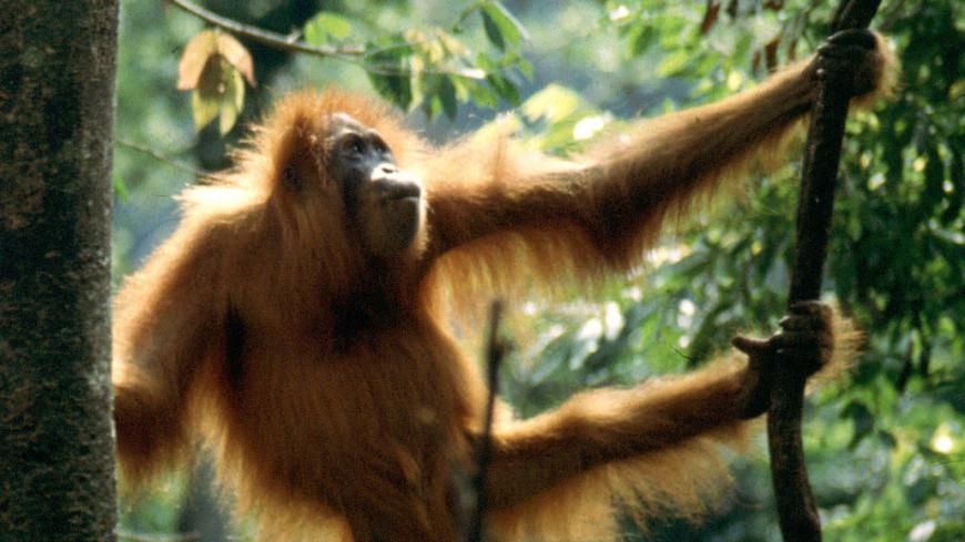 Отчаяние: орангутан сразился с экскаватором, защищая дерево-дом