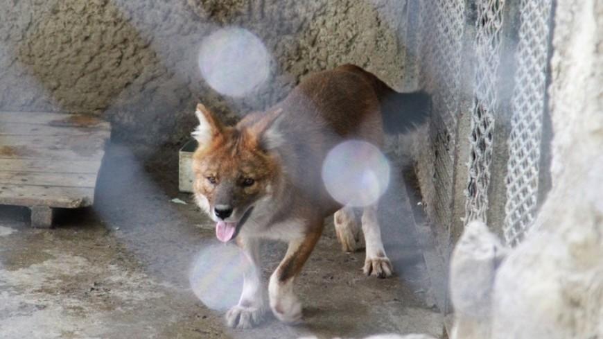 «Оборотень» из штата Монтана оказался обычным волком
