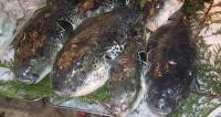 «Узорчатая рыба-собака»: открыт новый вид фугу
