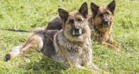 Четвероногие ветераны: полицейские собаки на пенсии
