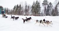 Гонки на собачьих упряжках: спорт или романтика
