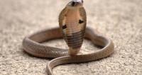 В Малайзии от укуса кобры умер знаменитый укротитель змей