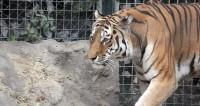 Раненная браконьерами тигрица умерла на руках у ветеринаров