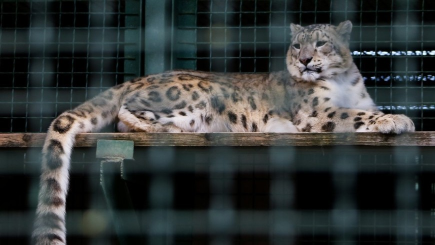 Популяция леопардов в Приморье за два года выросла в 1,5 раза