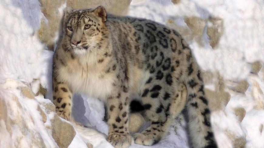 «Весна, ау»: снежный барс в зоопарке призвал тепло