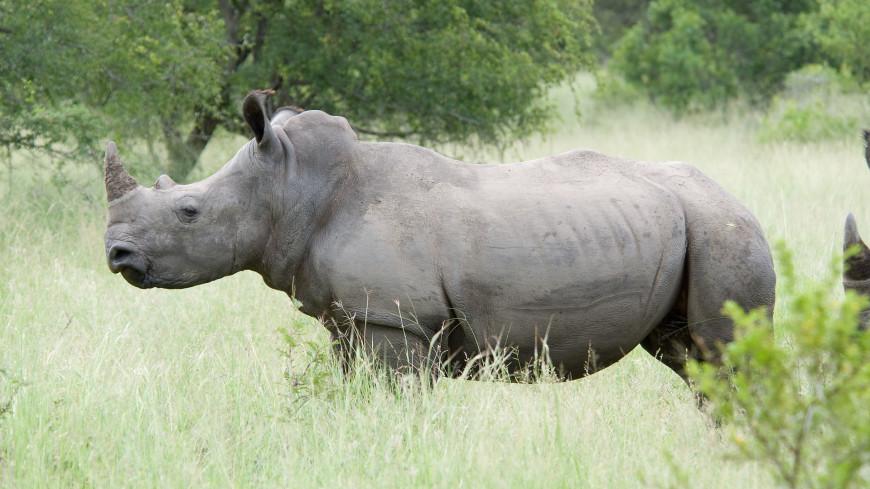 Впервые расшифрована речь детенышей белых носорогов