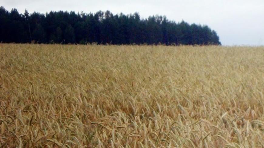 """Фото: Мария Попова, """"«Мир 24»"""":http://mir24.tv/, зерно, пшеница, поле"""