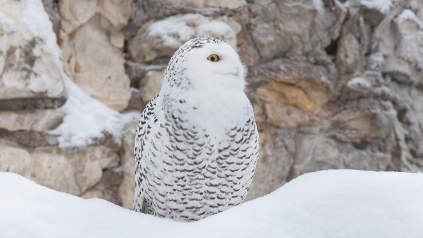 В Москве впервые за три года заметили полярную сову