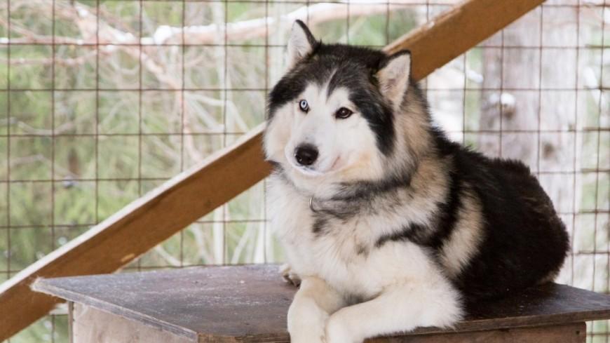 Ленивый пес в упряжке покорил интернет