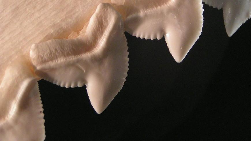 В Австралии неизвестные украли зуб древней акулы