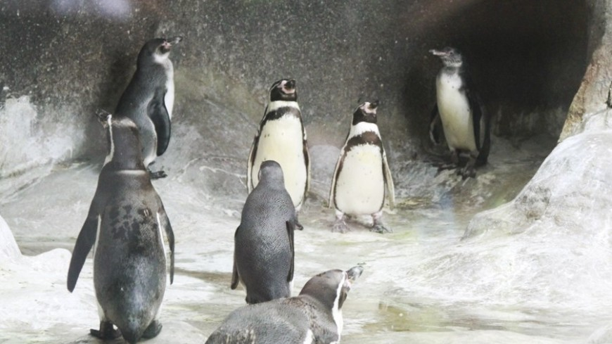 """Фото: Татьяна Константинова, """"«Мир24»"""":http://mir24.tv/, пингвины"""