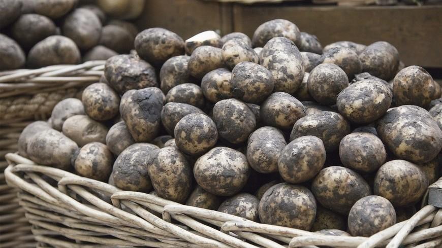 """© Фото: """"Максим Кулачков, «Мир 24»"""":http://mir24.tv/, картофель, рынок, торговля"""