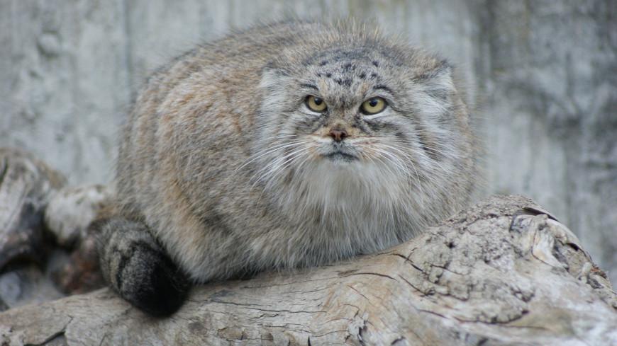 Манул из Московского зоопарка «выступил» против холода
