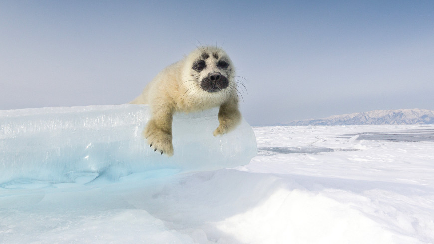 День белька: почему убивают детенышей тюленей