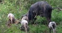 Мозг свиньи прожил без тела 36 часов