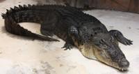 "Фото: Елена Карташова, ""«Мир24»"":http://mir24.tv/, крокодилы, рептилии, крокодил"
