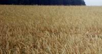 Обзор прессы: по экспорту зерна Россия уступает только Америке