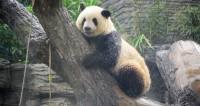 Панде в Пекинском зоопарке устроили спа
