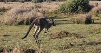 Новый игрок: кенгуру прервал футбольный матч и «встал» в ворота