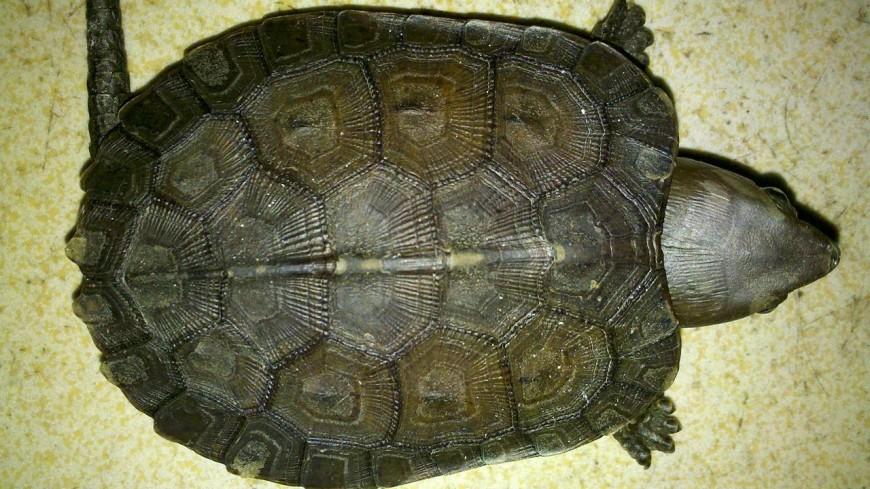 Контрабандист спрятал в носках более 20 большеголовых черепах