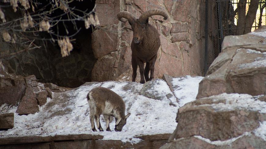 В Московском зоопарке родился детеныш редкого дагестанского тура