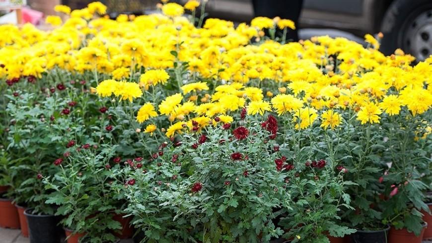 """©  Фото: Анна Тимошенко / """"«МИР 24»"""":http://mir24.tv/, хризантема, цветы"""