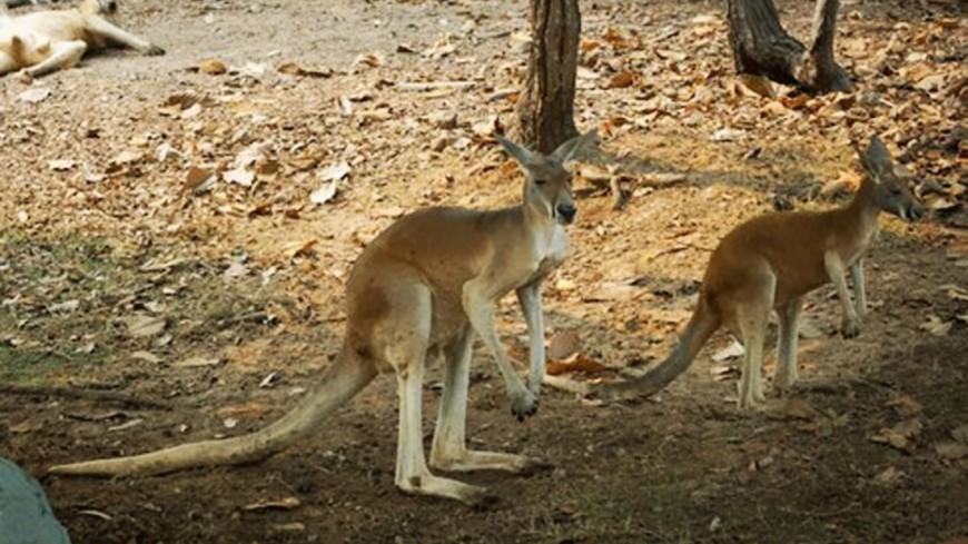 Сражение за сердце дамы: в австралийском парке подрались два кенгуру