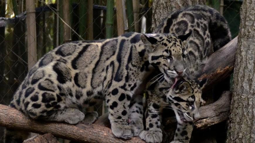 В Московский зоопарк может приехать дымчатый леопард из КНДР