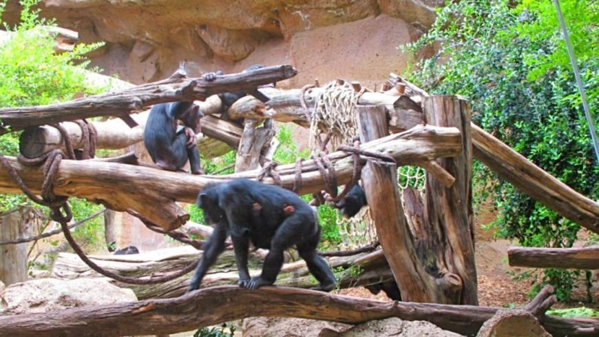 Мистер Протеин: шимпанзе-«качок» покорил соцсети