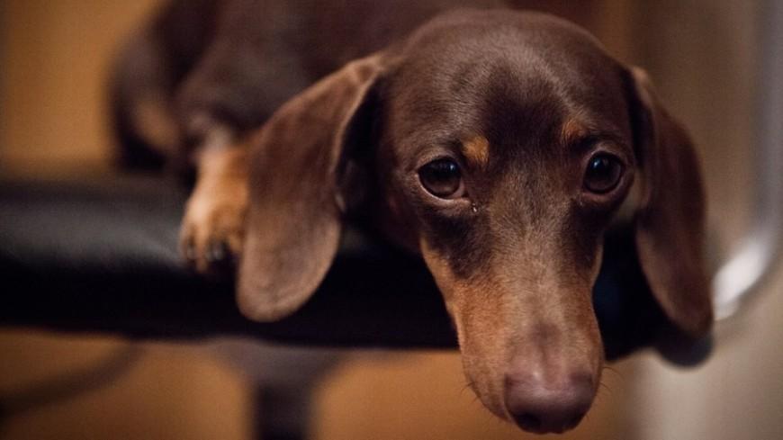 "© Фото: Елизавета Шагалова, ""«Мир 24»"":http://mir24.tv/, собака, такса"