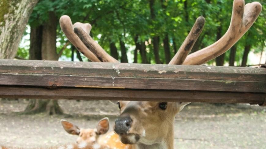 В центре Хельсинки застрелили двух оленей