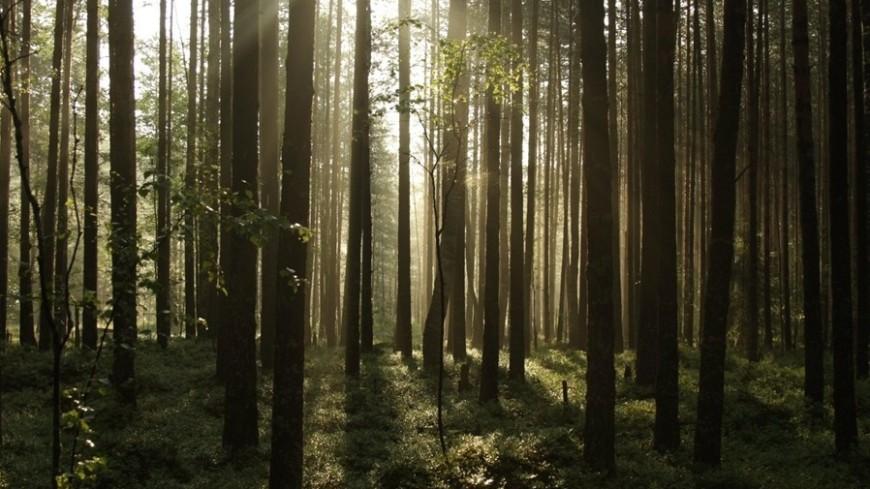 """Фото: Елизавета Шагалова, """"«Мир24»"""":http://mir24.tv/, сосны, лес, деревья, лето"""