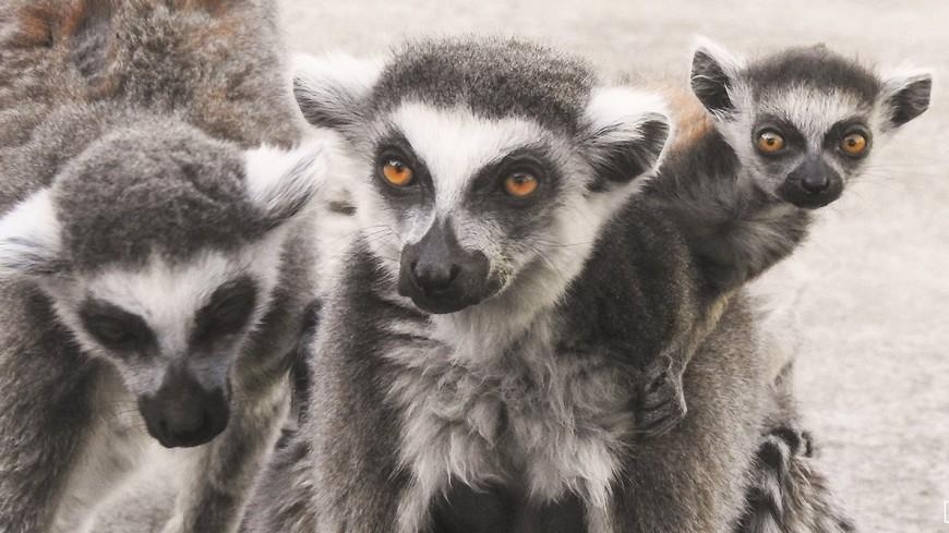 В Московском зоопарке родились детеныши кошачьего лемура
