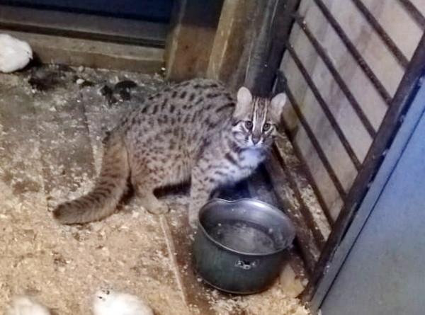 В Приморье спасли редкого детеныша дальневосточного лесного кота