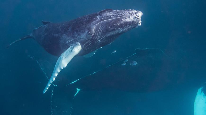 Песни горбатых китов указали на «культурные революции»