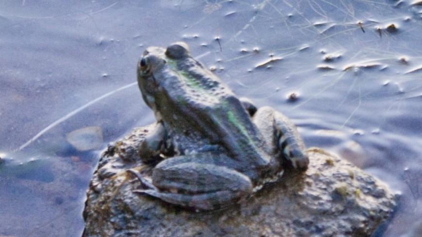 "Фото: Елена Андреева, ""«Мир24»"":http://mir24.tv/, болото, жаба, лягушка"