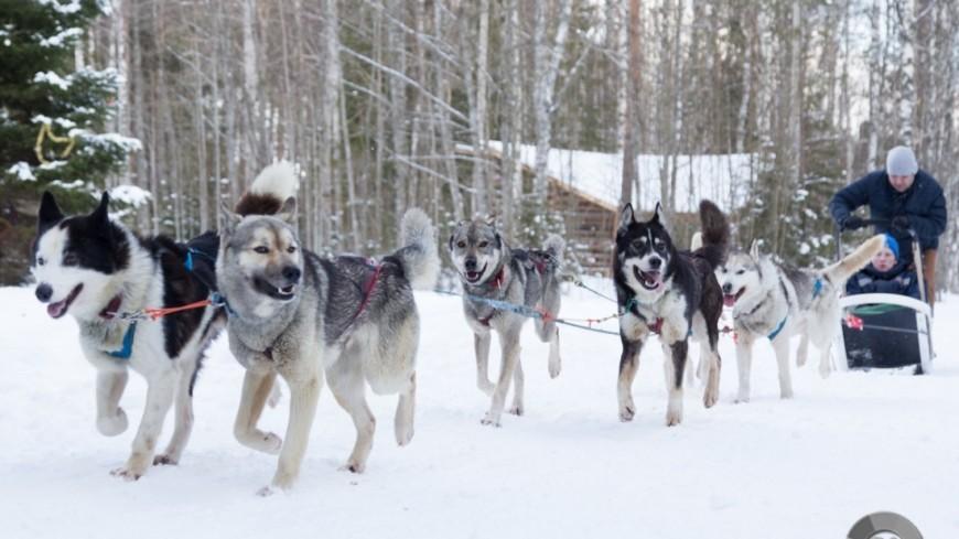 """Фото: Максим Кулачков, """"«МИР 24»"""":http://mir24.tv/, хаски, собака, собаки"""