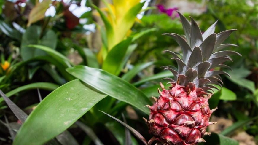 """""""Фото: Максим Кулачков (МТРК «Мир»)"""":http://mir24.tv/, ананас, цветы, растения, флора, зелень, ананасы"""
